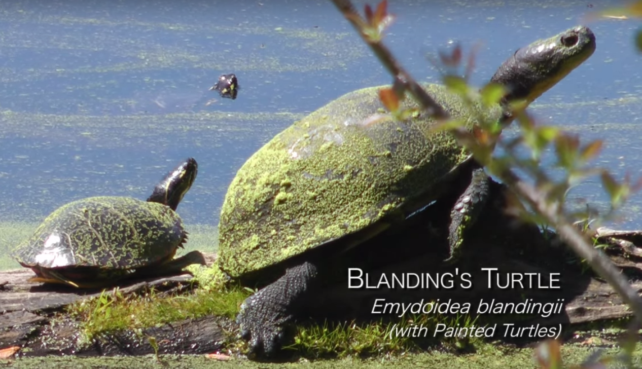 Blanding turtle Chris Renna