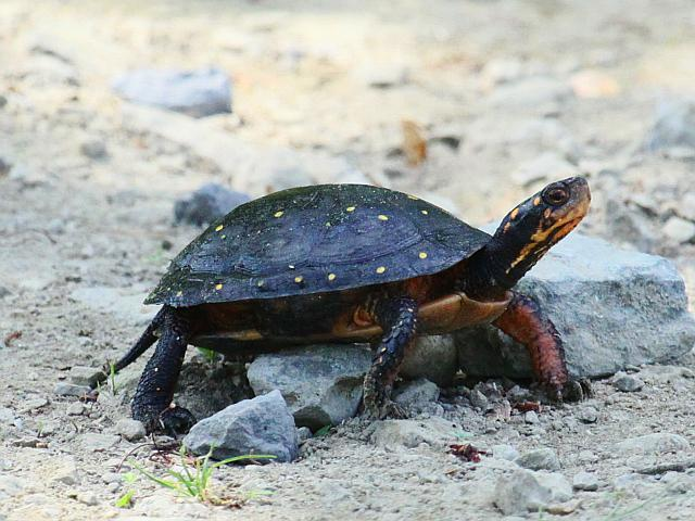 Spotted_turtle_craig_smith